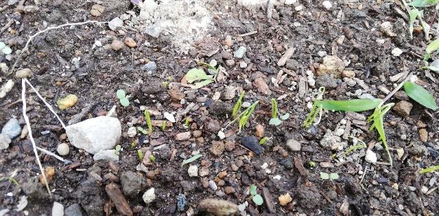 【小ネギ】秋まきをして発芽しました!【家庭菜園】おすすめ野菜!