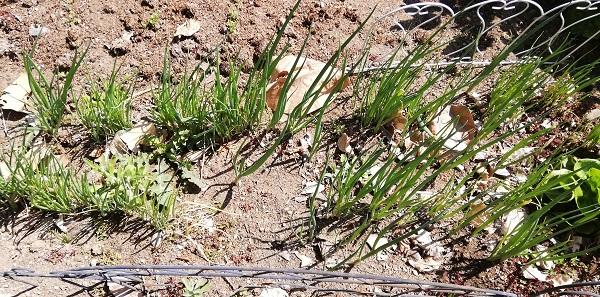 秋に種をまいて育てた小ネギ