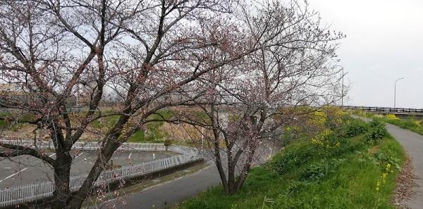 桜が咲きかけています