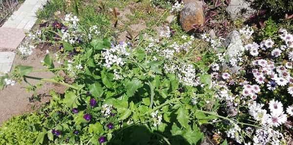 真ん中の小さな白い花が葉大根の花です。