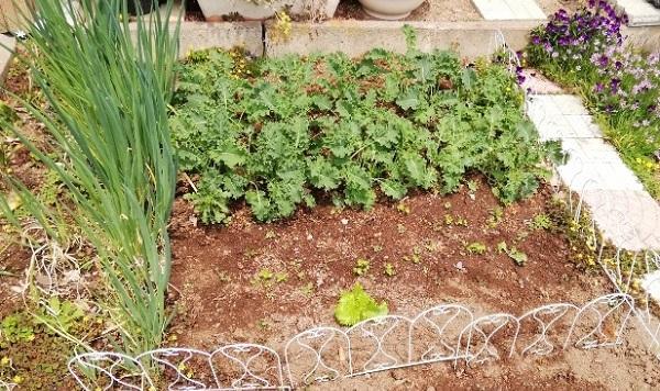 家庭菜園で作った栄養価の高い【ケール】を収穫!生でサラダで食べた!