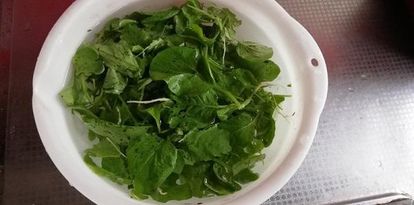 サラダこまつなを収穫!栽培が簡単で家庭菜園初心者におすすめ!