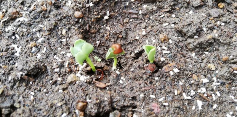 秋の種まき!ネコ草・大根の発芽と小ネギの移植の様子