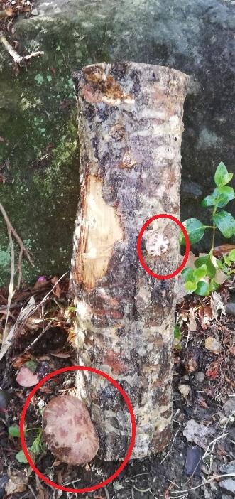 これが実際に生えてきた原木のしいたけです。2つほど確認できます。