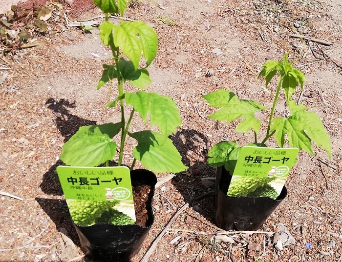 家庭菜園でゴーヤ栽培!苗植えから収穫まで!約2カ月で収穫できた!
