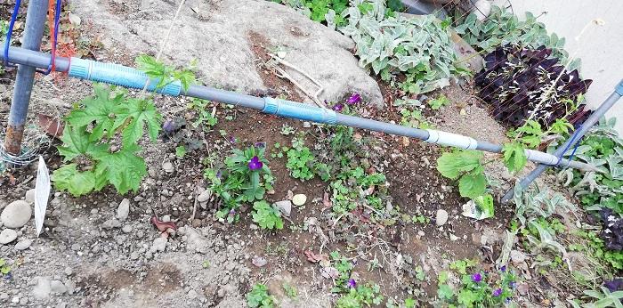 ゴーヤの苗を植えてから1週間後の様子
